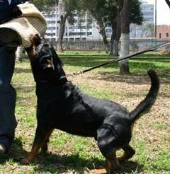 rottie defensa personal